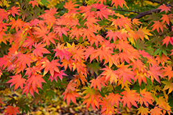 Japanese Maple (Acer palmatum) at Alsip Home and Nursery