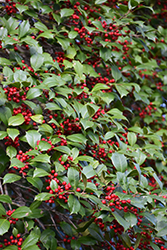 American Holly (Ilex opaca) at Alsip Home and Nursery