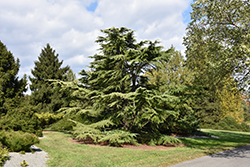 Golden Deodar Cedar (Cedrus deodara 'Aurea') at Alsip Home and Nursery