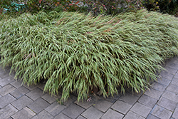 White Striped Hakone Grass (Hakonechloa macra 'Albo Striata') at Alsip Home and Nursery