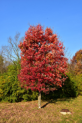 Autumn Flame Red Maple (Acer rubrum 'Autumn Flame') at Alsip Home and Nursery