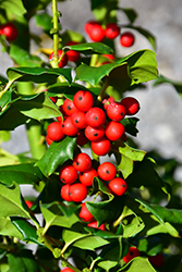 China Girl Meserve Holly (Ilex x meserveae 'China Girl') at Alsip Home and Nursery