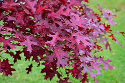 Scarlet Oak (Quercus coccinea) at Alsip Home and Nursery