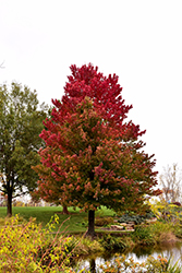 Red Sunset Red Maple (Acer rubrum 'Red Sunset') at Alsip Home and Nursery