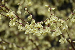 Buttercup Winterhazel (Corylopsis pauciflora) at Alsip Home and Nursery