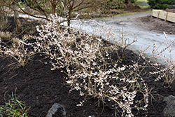 White Forsythia (Abeliophyllum distichum) at Alsip Home and Nursery