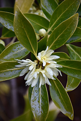 Japanese Star Anise (Illicium anisatum) at Alsip Home and Nursery