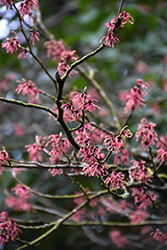 Ruby Glow Witchhazel (Hamamelis x intermedia 'Ruby Glow') at Alsip Home and Nursery