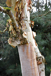 Chinese Paper Birch (Betula albo-sinensis) at Alsip Home and Nursery