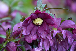Berry Swirl Hellebore (Helleborus 'Berry Swirl') at Alsip Home and Nursery