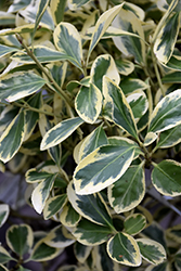 Silver Queen Euonymus (Euonymus japonicus 'Silver Queen') at Alsip Home and Nursery