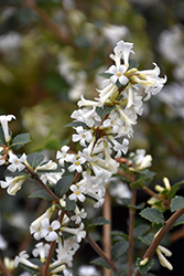 Tea Olive (Osmanthus delavayi) at Alsip Home and Nursery