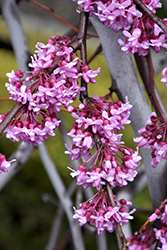 Lavender Twist Redbud (Cercis canadensis 'Covey') at Alsip Home and Nursery