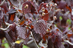 Red Majestic Corkscrew Hazelnut (Corylus avellana 'Red Majestic') at Alsip Home and Nursery