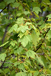Rocky Mountain Maple (Acer glabrum) at Alsip Home and Nursery