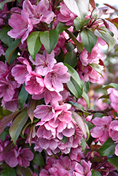 Gladiator™ Flowering Crab (Malus 'DurLeo') at Alsip Home and Nursery