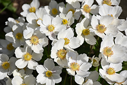 Windflower (Anemone sylvestris) at Alsip Home and Nursery
