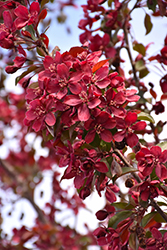 Royalty Flowering Crab (Malus 'Royalty') at Alsip Home and Nursery