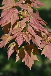 Sensation Boxelder (Acer negundo 'Sensation') at Alsip Home and Nursery