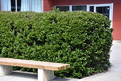 Hedge Cotoneaster (Cotoneaster lucidus) at Alsip Home and Nursery