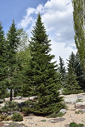 Alpine Fir (Abies lasiocarpa) at Alsip Home and Nursery