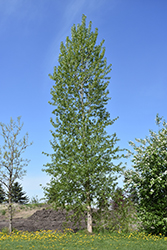 Balsam Poplar (Populus balsamifera) at Alsip Home and Nursery