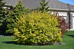 Dart's Gold Ninebark (Physocarpus opulifolius 'Dart's Gold') at Alsip Home and Nursery
