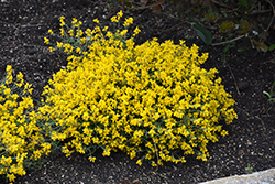 Bangle® Dyers Greenwood (Genista lydia 'Select') at Alsip Home and Nursery