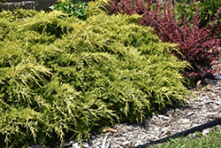 Gold Lace Juniper (Juniperus x media 'Gold Lace') at Alsip Home and Nursery