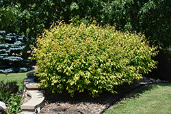 Atomic Amur Maple (Acer ginnala 'Durglobe') at Alsip Home and Nursery