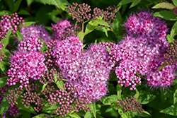 Anthony Waterer Spirea (Spiraea x bumalda 'Anthony Waterer') at Alsip Home and Nursery
