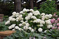 Annabelle Hydrangea (Hydrangea arborescens 'Annabelle') at Alsip Home and Nursery