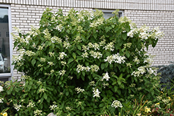 Great Star™ Hydrangea (Hydrangea paniculata 'Le Vasterival') at Alsip Home and Nursery