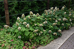 Sikes Dwarf Hydrangea (Hydrangea quercifolia 'Sikes Dwarf') at Alsip Home and Nursery