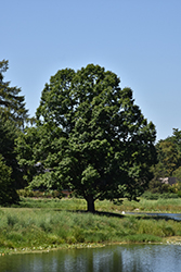 English Oak (Quercus robur) at Alsip Home and Nursery