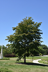 Accolade Elm (Ulmus 'Morton') at Alsip Home and Nursery