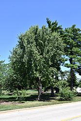 Skinner's Cutleaf Silver Maple (Acer saccharinum 'Skinneri') at Alsip Home and Nursery