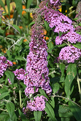 Windy Hill Butterfly Bush (Buddleia davidii 'Windy Hill') at Alsip Home and Nursery