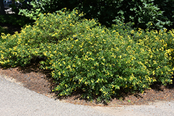 Gemo St. John's Wort (Hypericum kalmianum 'Gemo') at Alsip Home and Nursery