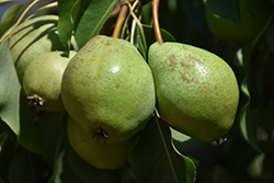Luscious Pear (Pyrus communis 'Luscious') at Alsip Home and Nursery