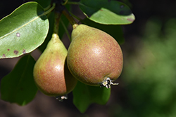 Brandy Pear (Pyrus communis 'Brandy') at Alsip Home and Nursery