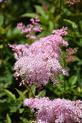 Queen Of The Prairie (Filipendula rubra) at Alsip Home and Nursery