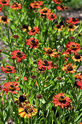 Red Army Sneezeweed (Helenium 'Red Army') at Alsip Home and Nursery