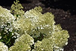 Bobo® Hydrangea (Hydrangea paniculata 'ILVOBO') at Alsip Home and Nursery