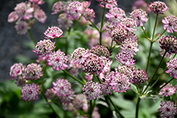 Abbey Road Masterwort (Astrantia major 'Abbey Road') at Alsip Home and Nursery