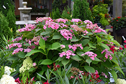 Edgy® Orbits Hydrangea (Hydrangea macrophylla 'Harbits') at Alsip Home and Nursery