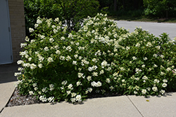 Tickled Pink® Hydrangea (Hydrangea paniculata 'HYPMAD II') at Alsip Home and Nursery