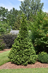 Soft Serve® Falsecypress (Chamaecyparis pisifera 'Dow Whiting') at Alsip Home and Nursery