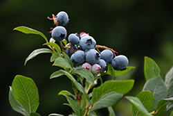 Northland Blueberry (Vaccinium corymbosum 'Northland') at Alsip Home and Nursery