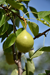 Ure Pear (Pyrus ussuriensis 'Ure') at Alsip Home and Nursery